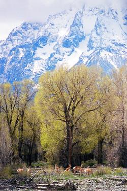 Pronghorns - Grand Téton, Etats-Unis