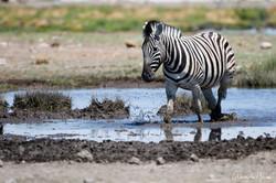 Zèbre à Etosha - Namibie