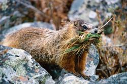 Marmotte - Yellowstone, Etats-Unis