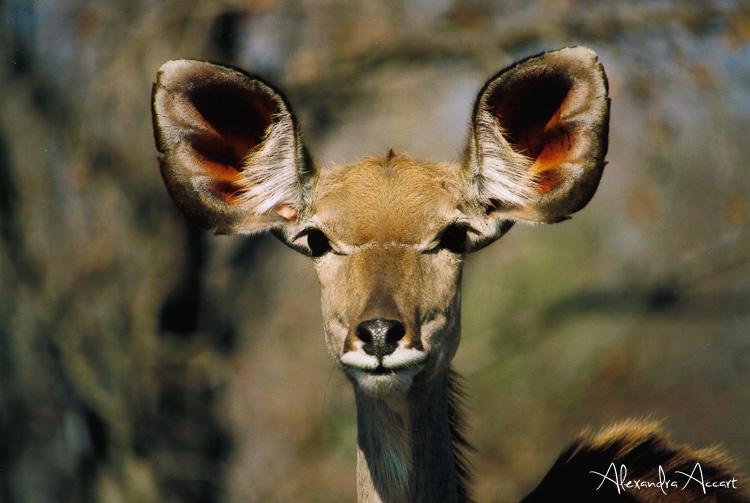 Koudou femelle - Afrique du sud