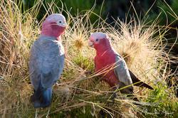 Cacatoes rosalbin - Australie