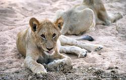 Lionceau - Afrique du sud