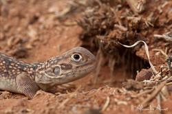 Ctenophorus nuchalis - Australie