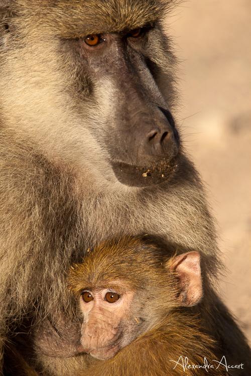 babouins - Kenya