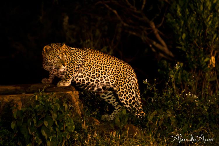 Léopard - Kenya