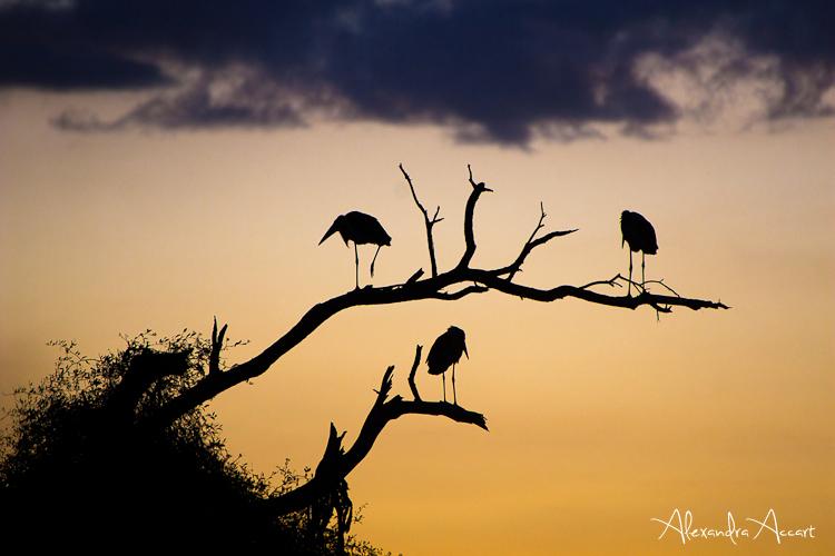 Marabouts - Kenya