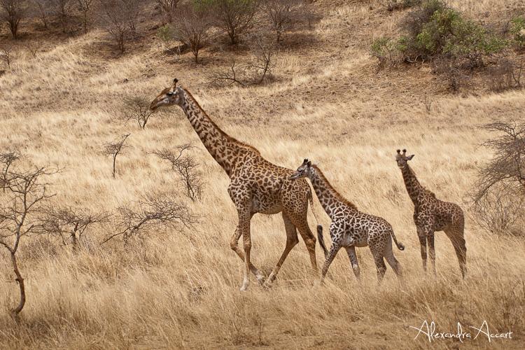 Girafes - Kenya