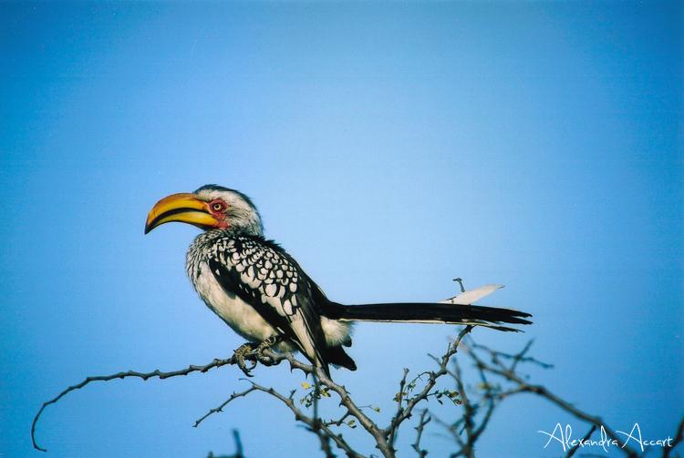 Calao leucomele - Afrique du Sud