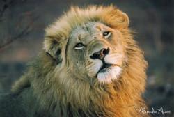 Lion - Afrique du sud