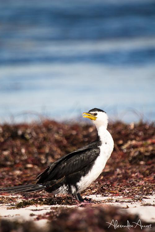 Cormoran pie - Australie