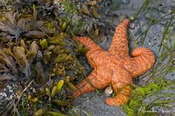 Etoile de mer ocrée - Canada