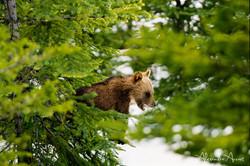 Grizzly - Banff, Canada