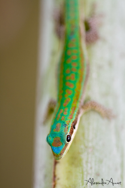 Phelsuma cepediana - Ile Maurice