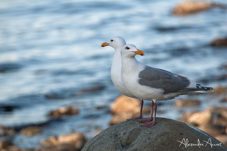 Goélands d'Audubon - Canada
