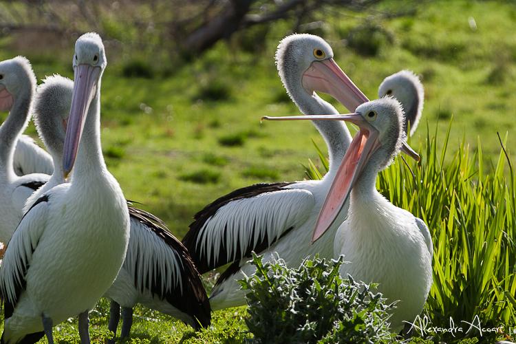 Pélicans à lunette - Australie