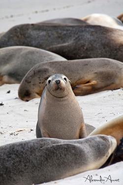 Lion de mer australien - Australie