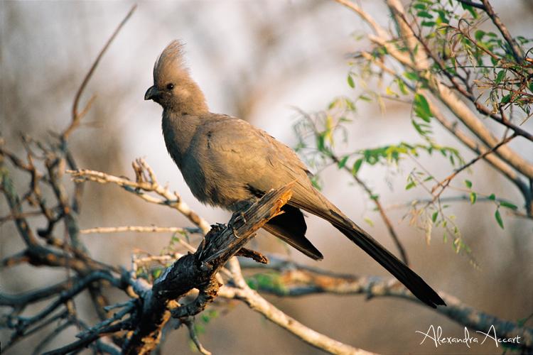 Touraco gris - Afrique du sud