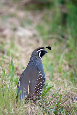 California quail male - Canada