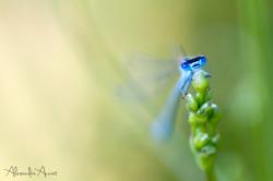 agrion-bleu.jpg