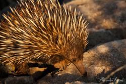 Echidné - Australie