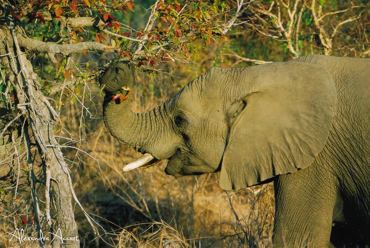 Eléphant - Afrique du sud