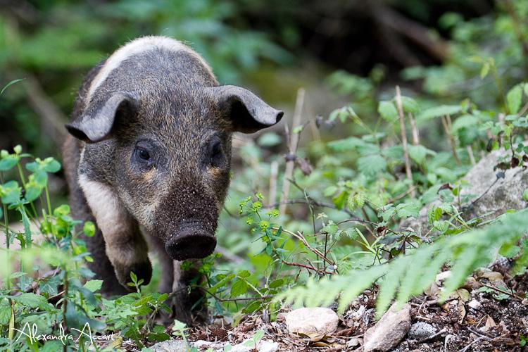 Cochon sauvage - Corse
