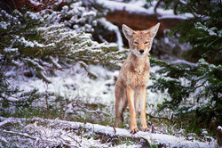 Coyote - Yellowstone, Etats-Unis