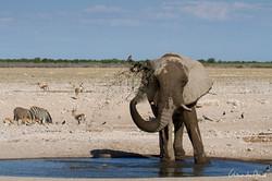 Eléphant à Etosha - Namibie