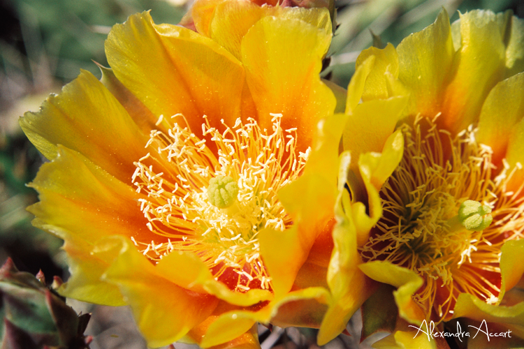 Fleur de cactus - Etats-Unis