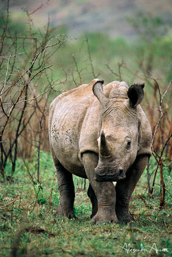 Rhinocéros - Afrique du sud