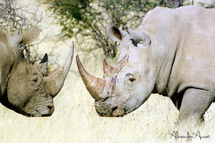 Rhinocéros - Namibie