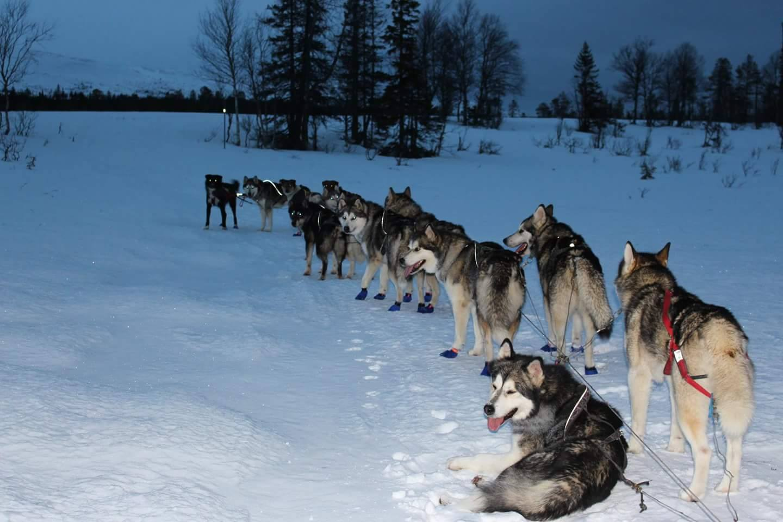 Långt tåg av hundar