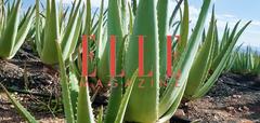 Aloe vera : nouveau nectar de beauté ?