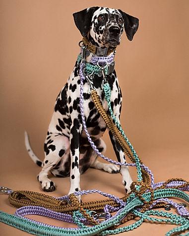Chien dalmatian avec un collier et des laisses de la marque Chien-Chien