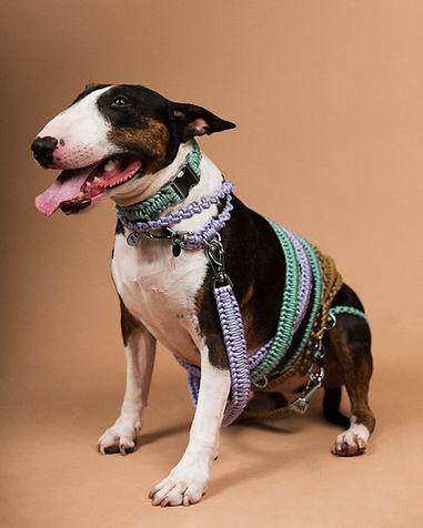Chien de race Bull Terrier tricolore portant un collier et des laisses pour chien en paracorde tressée, fabriqués en France par la marque Chien-Chien.