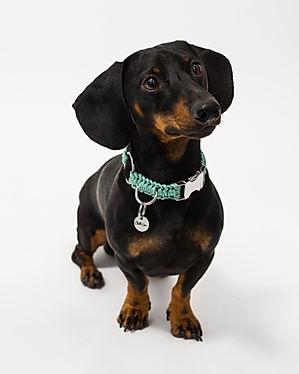 Chien de race Teckel poils ras fauve, portant un collier pour chien en paracorde tressée de couleur turquoise, fabriqué en France par la marque Chien-Chien.