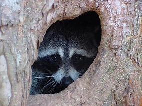 raccoon-hollow2.jpg