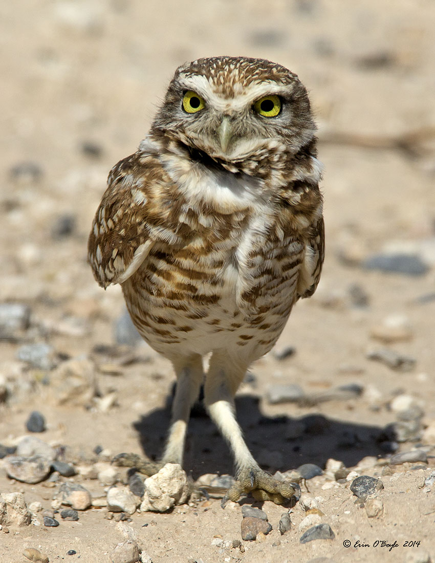 Nevada Burrowing Owl