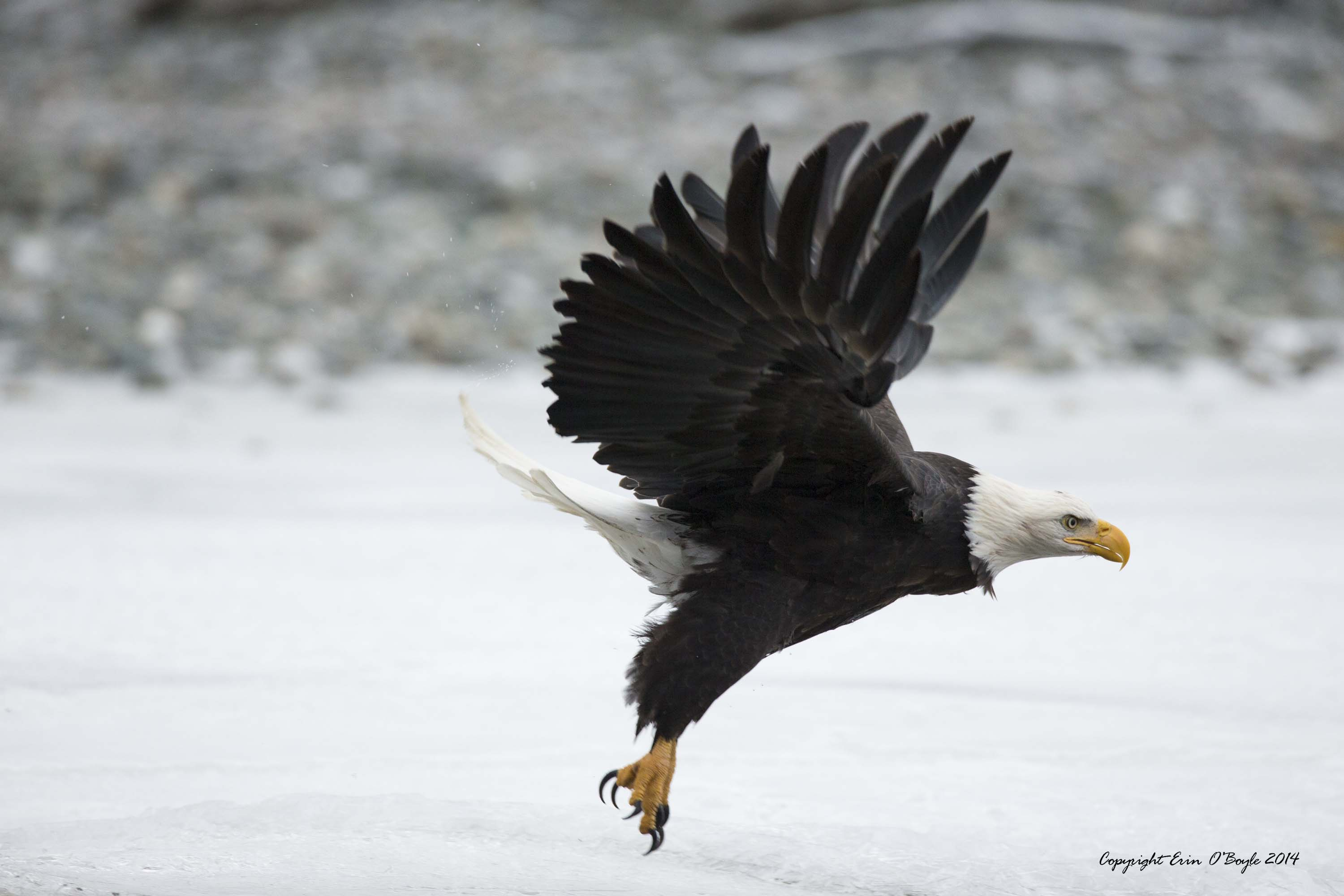 Alaskan Bald Eagle Flight