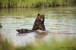 Bear with Log