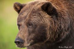 Gizzly Bear Closeup