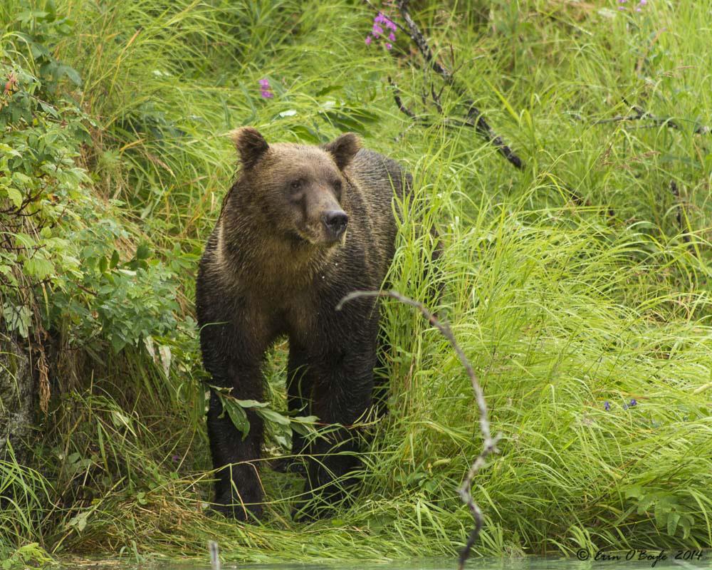 Bear crusing