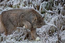 Arctic Lynx prowling