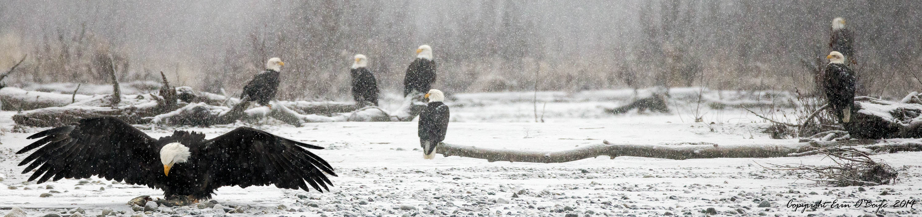 Bald Eagle as Snow Birds