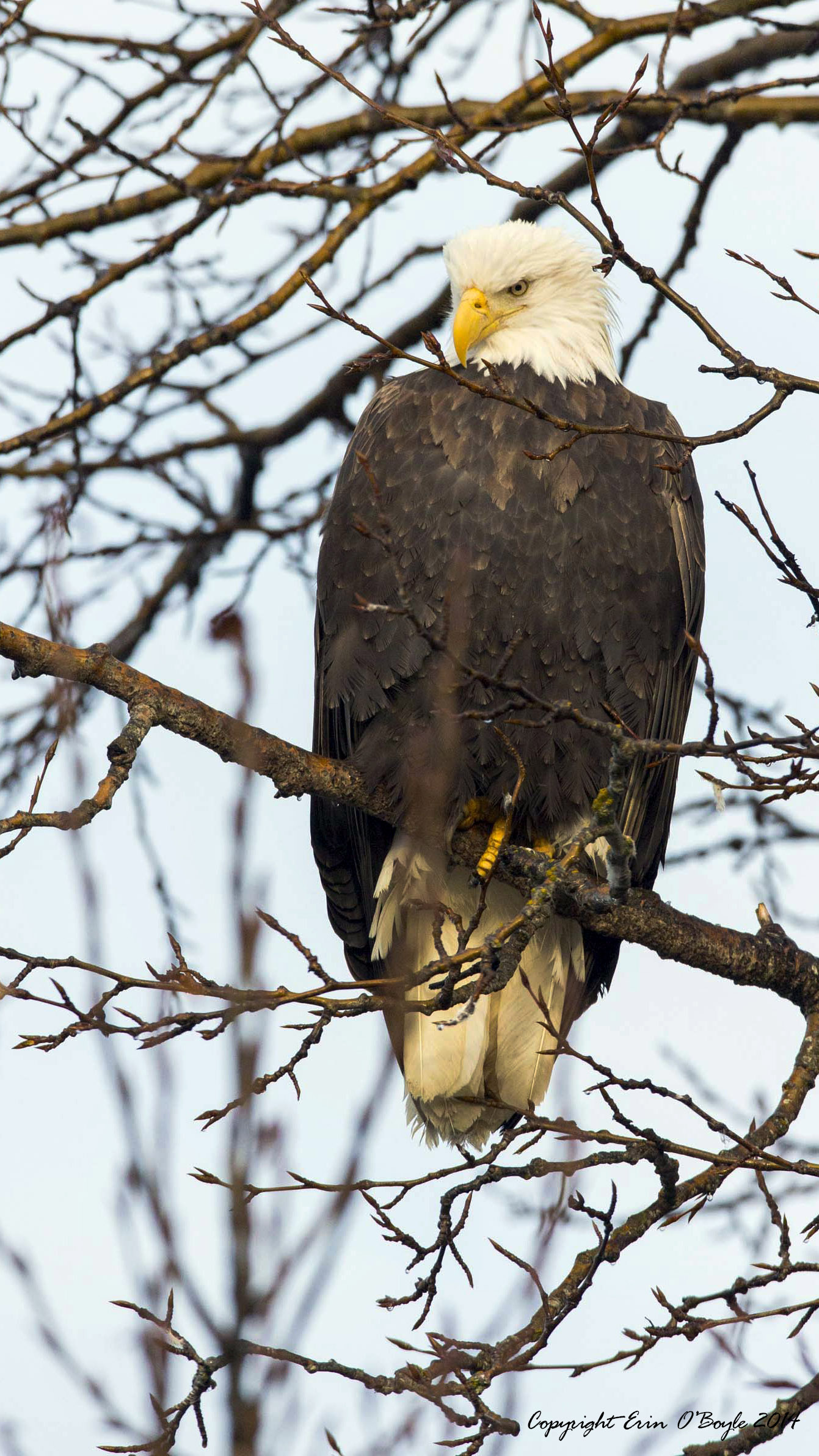 Alaskan Bald Eagle Portraite