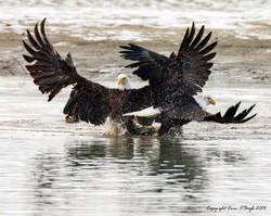 Alaskan Bald Eagle Dance