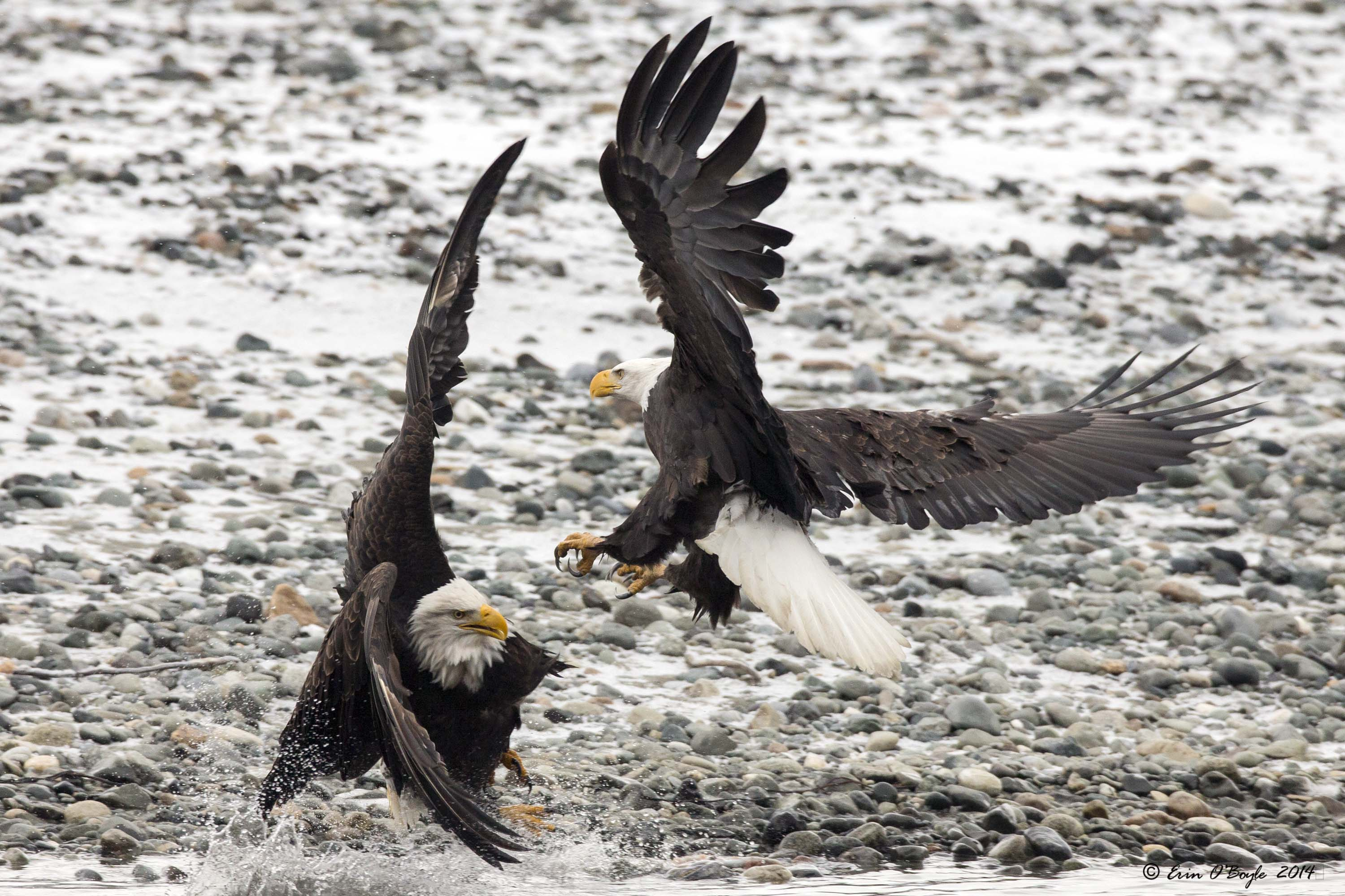 Bald Eagle tussle