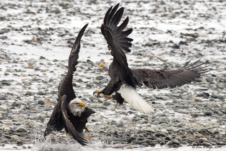 Bald Eagle tussle