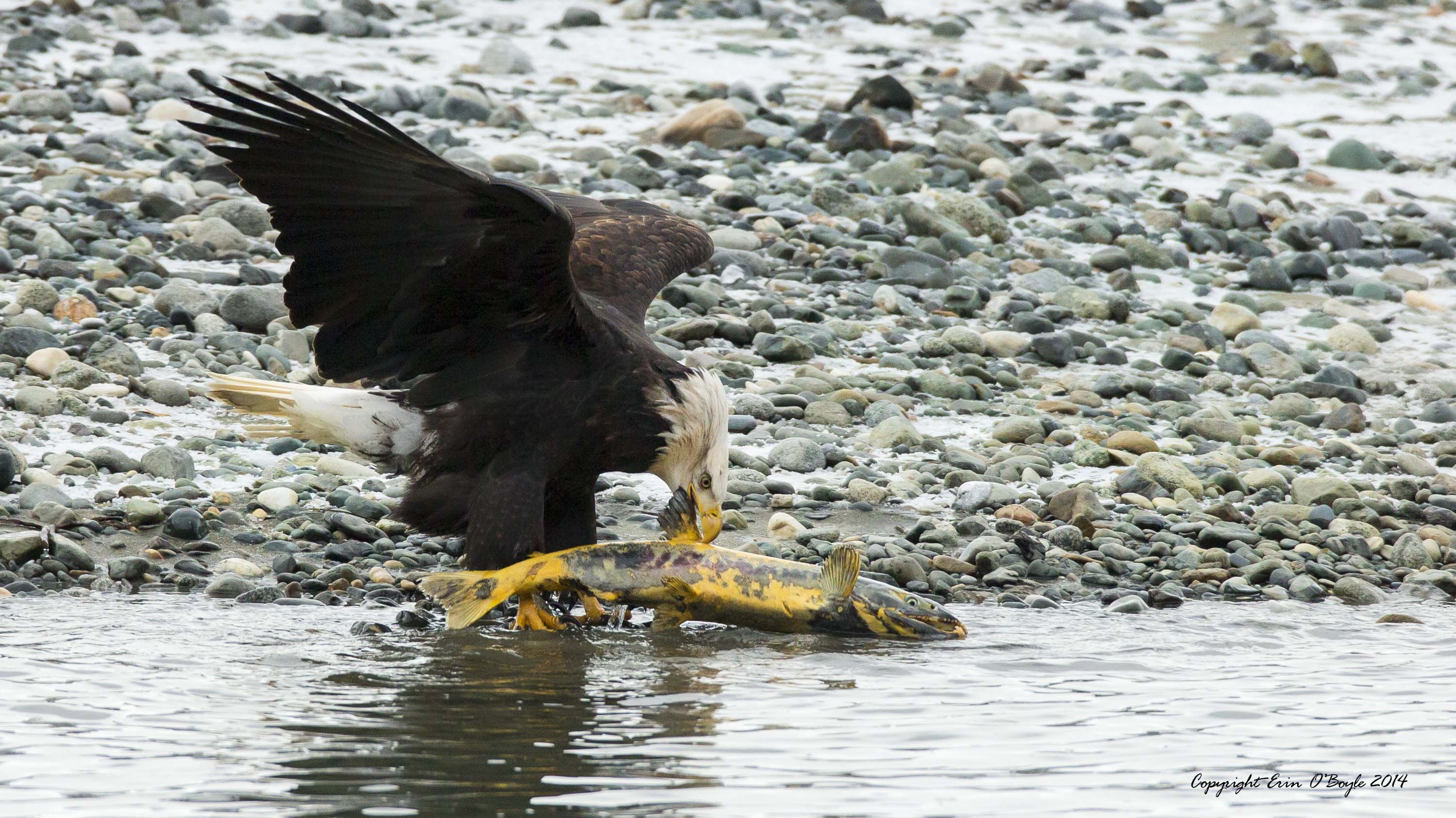 Bald Eagle dinner time