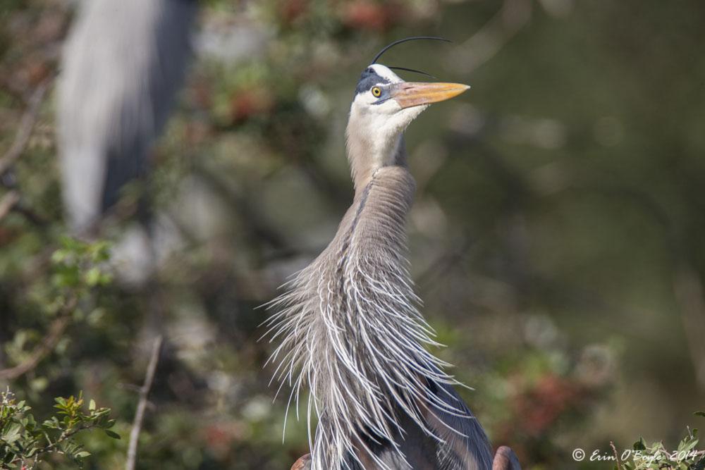 Blue Heron Mating Plume
